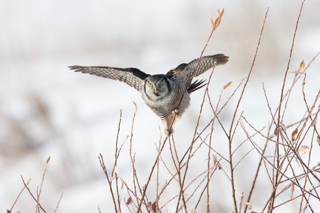 floying owl